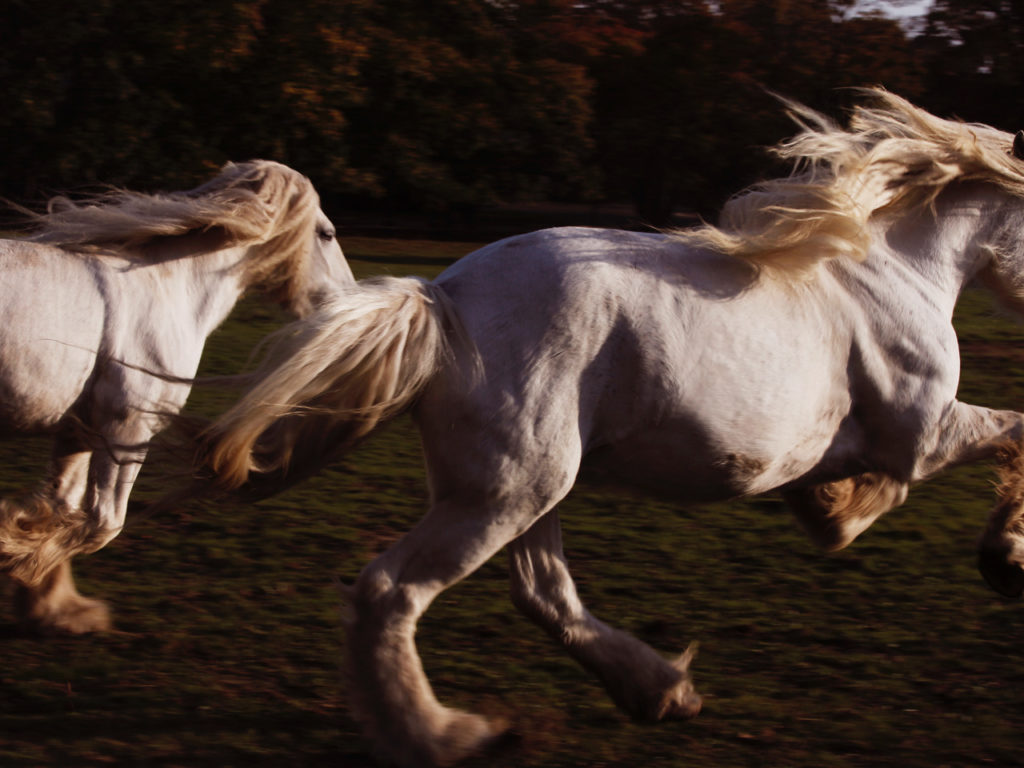 Kindness And Strength Photographer Lincoln Pilcher Calls The White Shire Horses Subject Of His New Breadth Work From This Eat Hampton